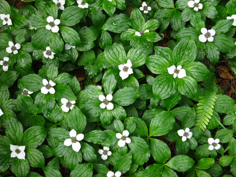 Canadian bunchberry in bloom