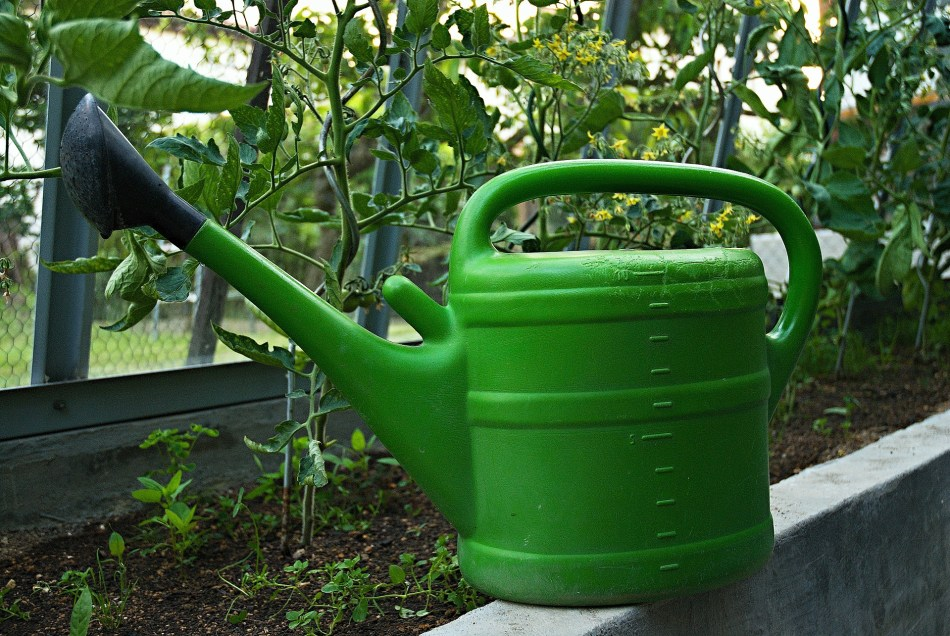 Watering can in front of tomato plants.