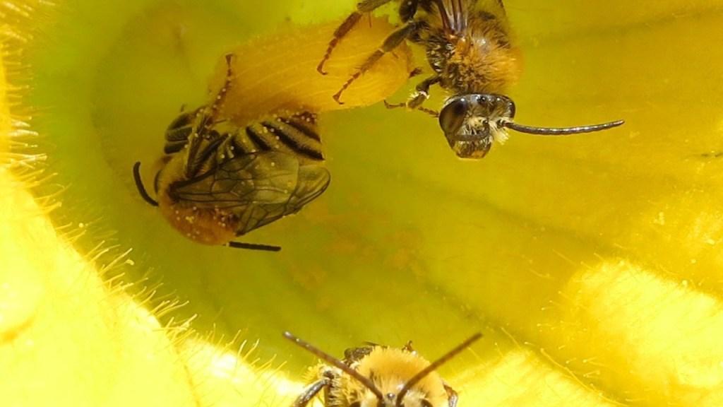 Three squash bees visiting squash flower.