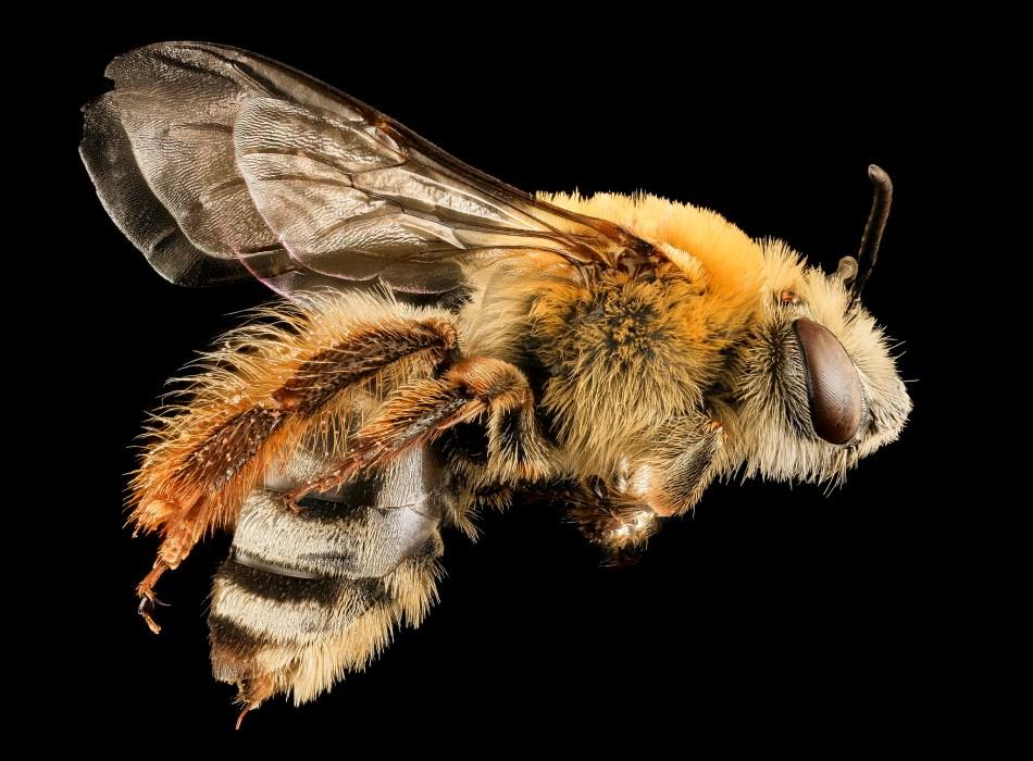 Female squash bee