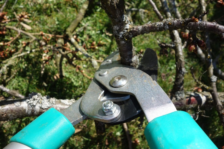 Pruning shears pruning an apple tree.