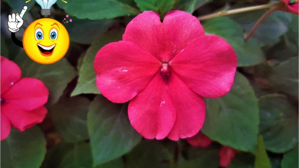 Impatiens flower