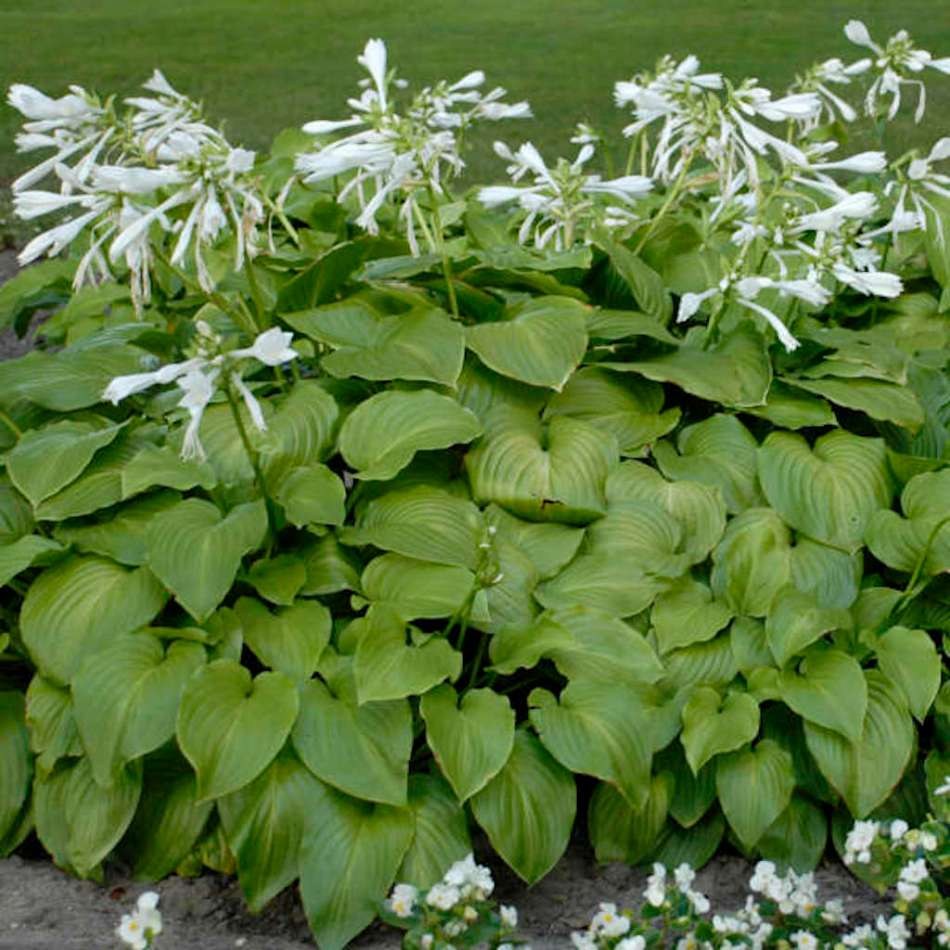 plantain hosta in bloom.
