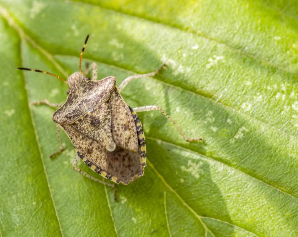 Adult brown marmorated stink bug, beige mottled with brown.
