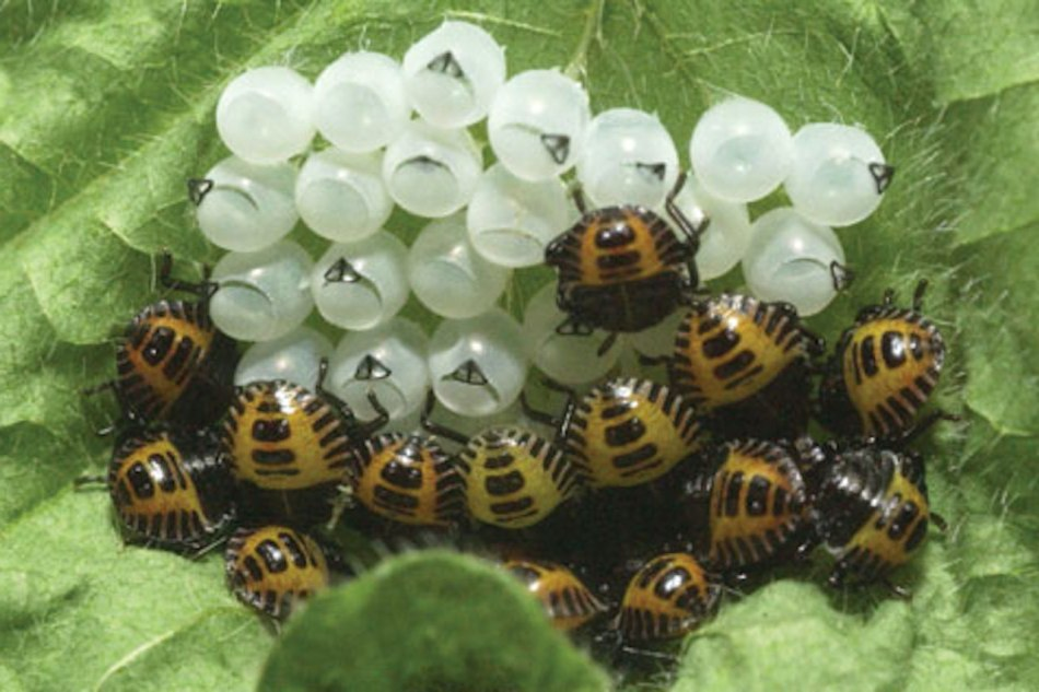 Stink bug nymphs emerging from eggs.