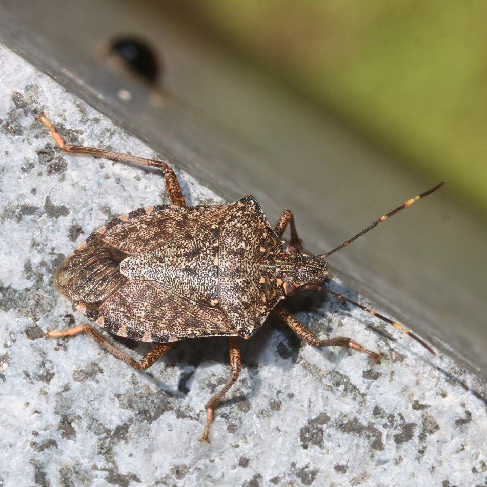 Brown marmorated stink bug on a window ledge.