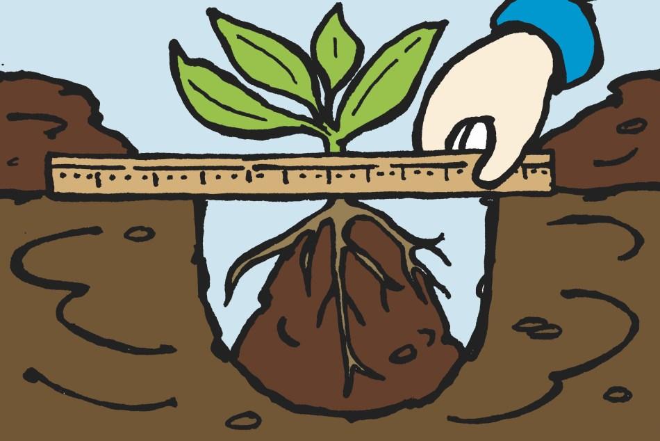 Replanting a division to the same depth as the original plant.