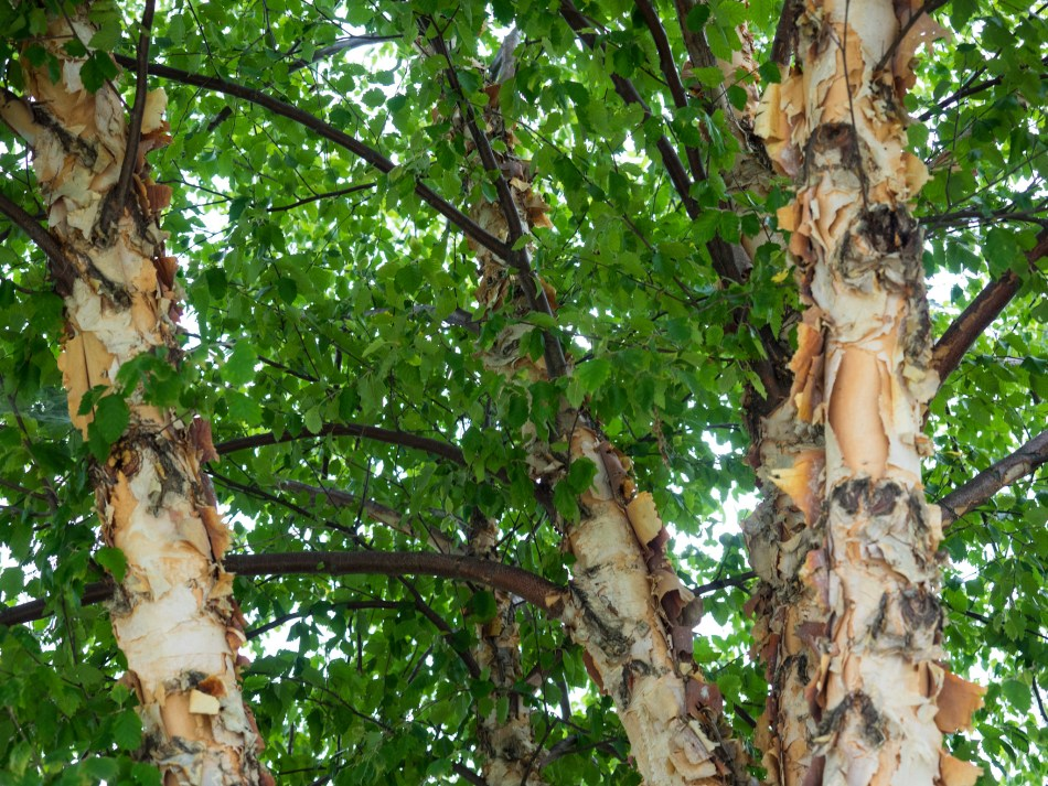 River birch showing its colorful peeling bark.