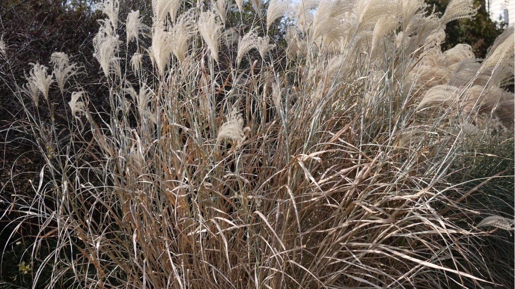 Miscanthus sinensis in autumnal colors.
