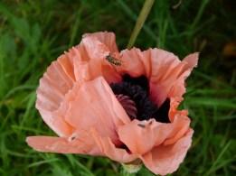 Poppy - in October!