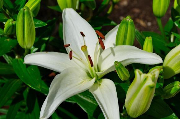 foto flor blanca lirio paris