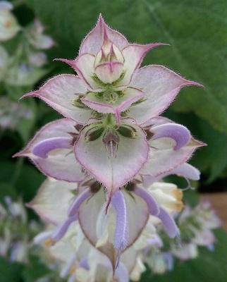 Clary Sage Flower