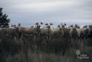 Laines Paysannes GAEC de Latour éleveurs partenaire
