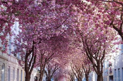 Straße mit rosafarbenen Kirschblüten
