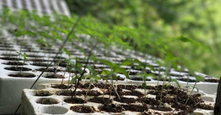 Kultivoi kanabis në tokën e tij në pyll