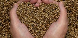 graines-chanvre-une