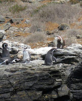 Les pingouins de Humboldt à Punta de Choros, Chili