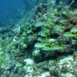 Yellowtail Snapper, Atlantis Home Reef