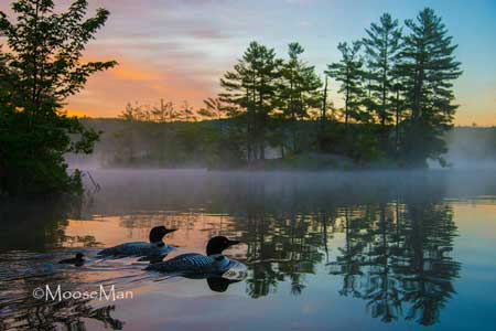 loons-at-sunrise-5