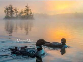 loons at sunrise
