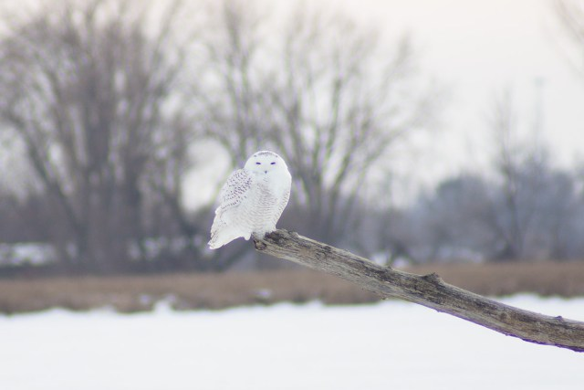 Snowy Owl Perch