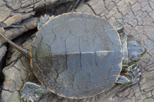 Painted Turtle Hatchling Top