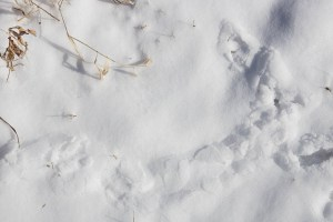 Tracks in the snow of small mammals