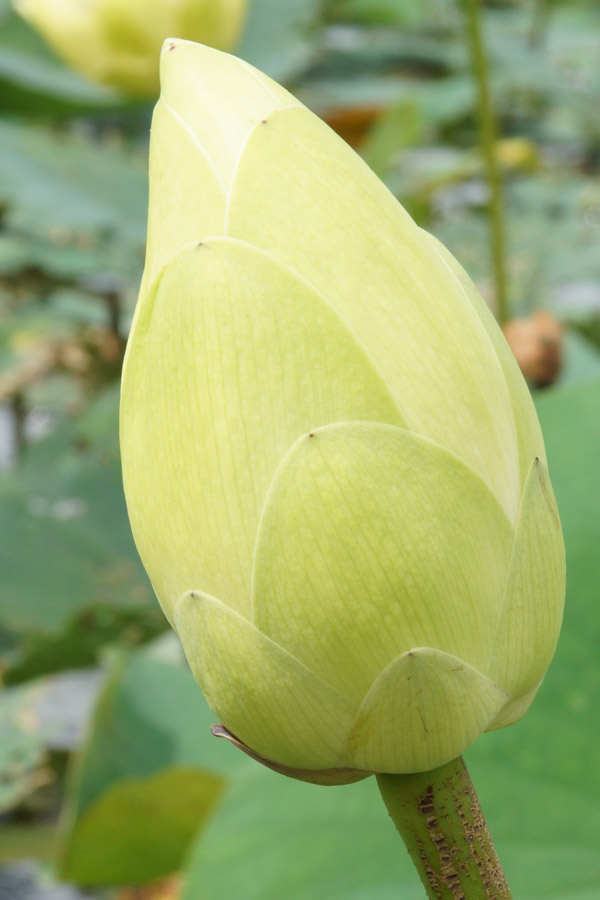 Lotus Flower Bus