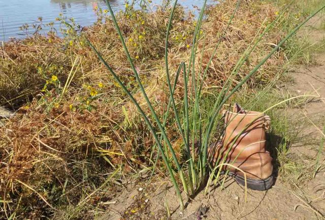 Bulrush reproduction