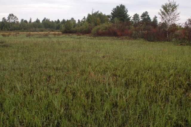 Sedge Meadow Growth after Fire
