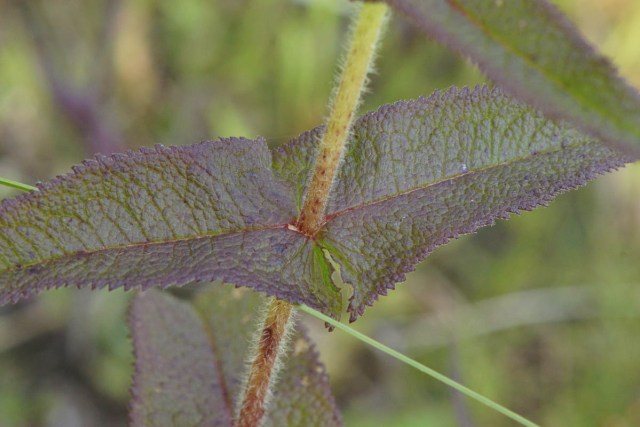 Boneset Leaves