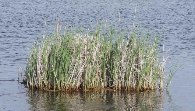 Floating Cattail Bog