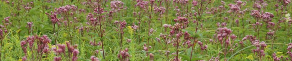 Joe-Pye-Weed Wetland