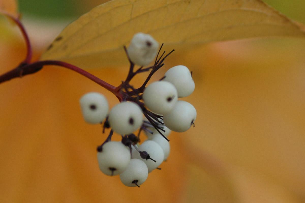 Red Osier-Dogwood (Cornus stolonifera) Berries