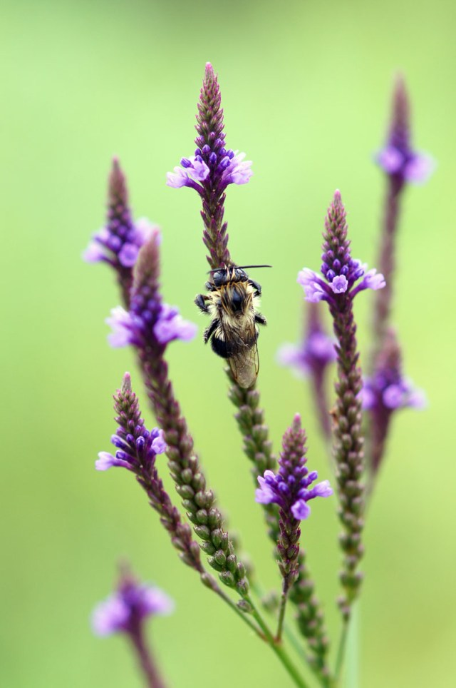 Blue Vervain and Bumble Bee