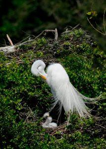 Great White Egret and her nestlings
