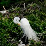 Winged Jewels — Great White Egrets