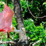 Winged Jewels: Roseate Spoonbills
