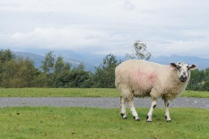 Sheep taken from Holehird gardens, Windermere
