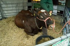Mary the cow at the Westmorland County Agricultural Society stand