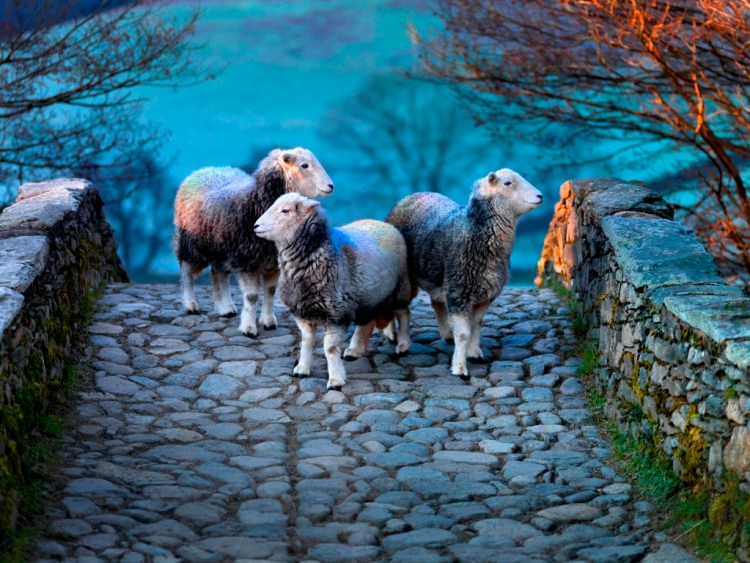I particularly enjoyed the light in this photograph from Ian Lawson's exhibition 'Herdwick: A Portrait of Lakeland'