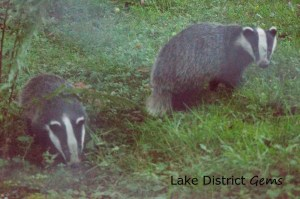 Two badgers amongst grass