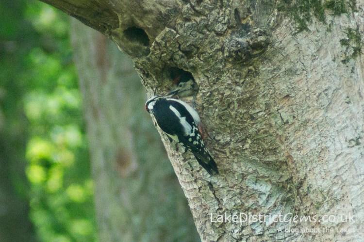 Woodpecker feeding baby