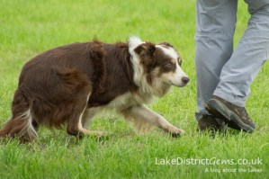 A sheep dog with its owner, about to start a trial at the Lake District Sheepdog Trials, Ings