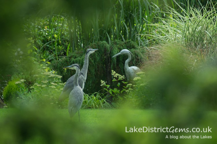 Two real herons and a plastic one!