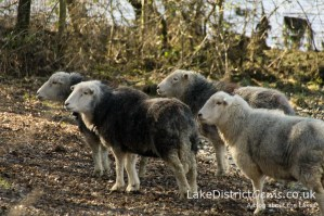 Herdwick sheep in the Kettlewell car park, Derwentwater
