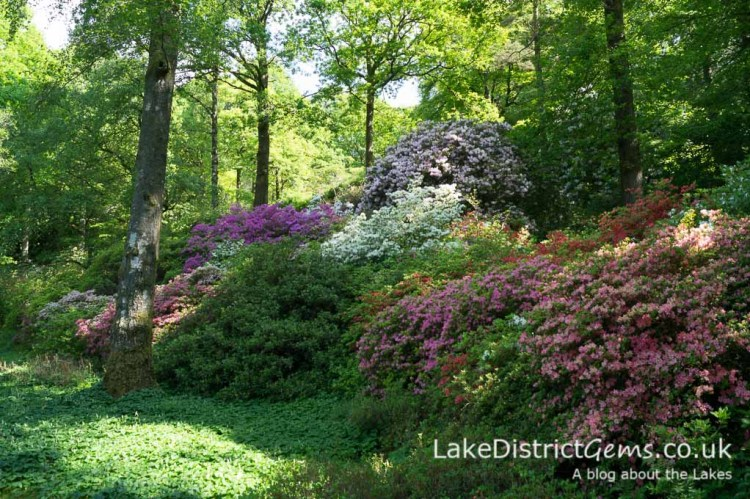 Azaleas at Stagshaw Gardens, Ambleside