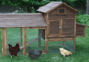Urban Hens project continues in Elk Point