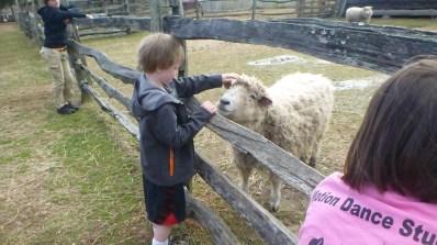Feeling the fleece of the sheep