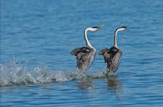 WS western grebes